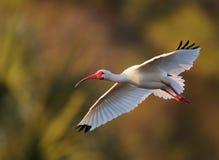 Ibis bianco in volo Immagine Stock