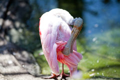 Ibis bird Royalty Free Stock Image