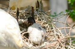 Ibis bird black head. The black-headed ibis or Oriental white ibis Stock Photography