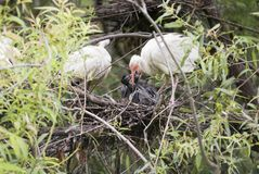 Ibis Bird Feeding Baby Chicks Royalty Free Stock Photography