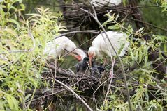 Ibis Bird Feeding Chick Royalty Free Stock Photography