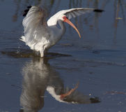 Ibis bird landing on water Royalty Free Stock Photography