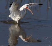 Ibis bird landing on water. White ibis bird landing on water in wetlands, Florida Royalty Free Stock Photography