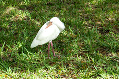 A ibis bird is resting Stock Image