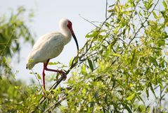 Ibis Bird in a Tree Royalty Free Stock Image