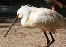 Ibis Bird Stock Photo