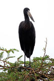 Ibis Bird - Wildlife Sanctuary - Uganda Stock Image