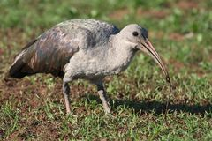 Ibis Bird and Worm Royalty Free Stock Images