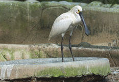 Ibis bird. In a zoological park, India Stock Images