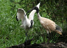 Ibis Birds. Mother and baby Ibis birds found in Australia Royalty Free Stock Photography