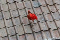 Ibis Stock Photo
