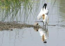 IBIS blanc à tête noire se tenant avec son héron d'étang d'ami Images stock