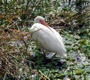 IBIS blanc (albus d'Eudocimus) Photo libre de droits