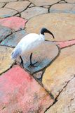 IBIS blanc australien Images libres de droits
