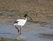 IBIS blanc croise un regroupement Photo stock