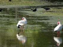 IBIS blanc dans le marais photographie stock
