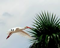 IBIS blanc en vol Photographie stock