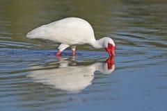IBIS blanc forageant dans un étang peu profond Image libre de droits
