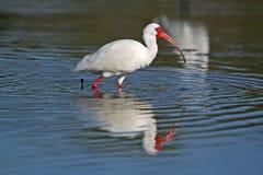 IBIS blanc forageant dans un étang peu profond Photo libre de droits