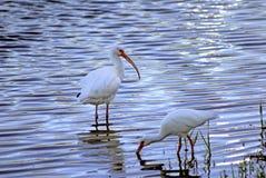 IBIS blanc mangeant dans un étang Images stock
