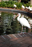 Ibis blanco Foto de archivo
