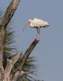 Ibis blanco Imagenes de archivo