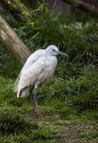 Ibis blanco Fotos de archivo libres de regalías