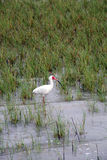 Ibis blanco Imagen de archivo libre de regalías