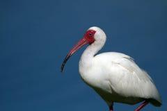 Ibis blanco, albus de Eudocimus Fotografía de archivo libre de regalías