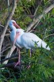 Ibis blanco americano (albus de Eudocimus) Imagenes de archivo