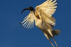 Ibis blanco australiano Fotografía de archivo libre de regalías
