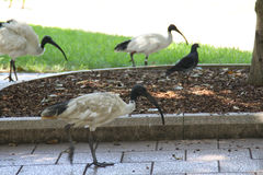 Ibis blanco australiano Imagen de archivo