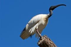 Ibis blanco australiano en árbol   Fotografía de archivo