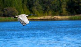 Ibis blanco australiano está volando sobre el lago imagen de archivo libre de regalías