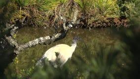 Ibis blanco australiano metrajes