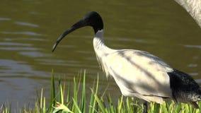 Ibis blanco australiano almacen de metraje de vídeo
