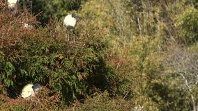 Ibis blanco australiano almacen de video