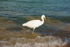 Ibis blanco come pescados Fotografía de archivo