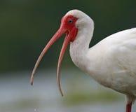 Ibis blanco con la boca abierta Foto de archivo libre de regalías