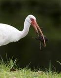 Ibis blanco con la rana Fotografía de archivo libre de regalías