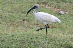 Ibis blanco de cabeza negra Imagen de archivo