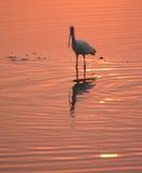 Ibis blanco en agua en la puesta del sol Fotos de archivo