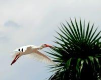 Ibis blanco en vuelo Fotografía de archivo