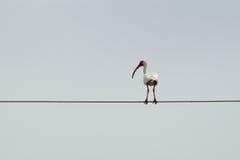 Ibis blanco grande en el cable Foto de archivo libre de regalías