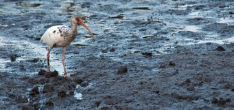 Ibis blanco juvenil Fotos de archivo libres de regalías