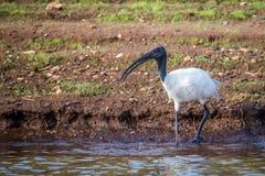 Ibis blanco oriental en el río Imágenes de archivo libres de regalías