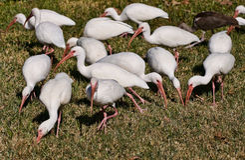 Ibis blanco, pájaros de la Florida Imagenes de archivo
