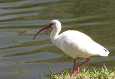 Ibis blanco por el agua Imagen de archivo