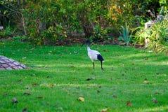 Ibis blanco que camina en hierba verde imagen de archivo
