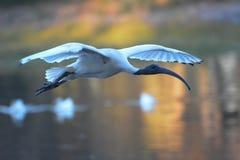 Ibis blanco que vuela sobre el lago Imagenes de archivo